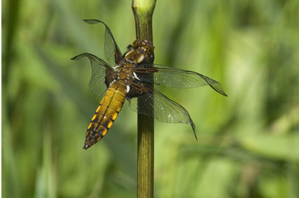 broad_bodied_chaser