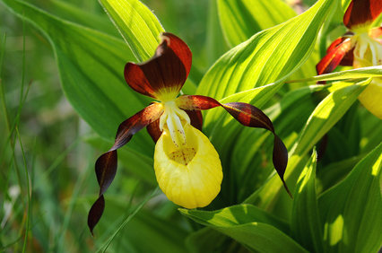 ladys_slipper_orchid