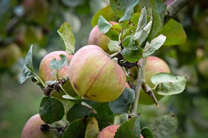 AI_apples