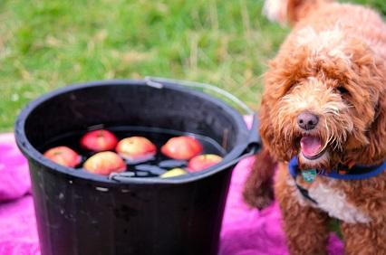 Apple_bobbing_dog