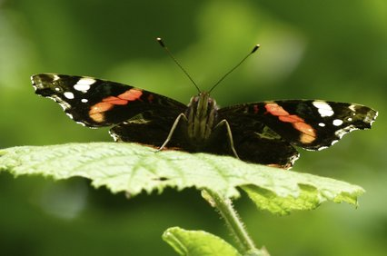 LT_red_admiral