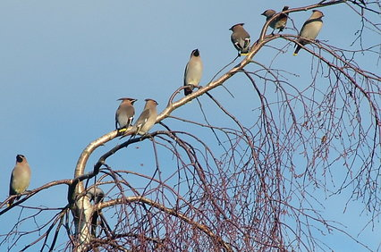 Seven Waxwings are sat on the branch of a tree, behind a clear blue sky