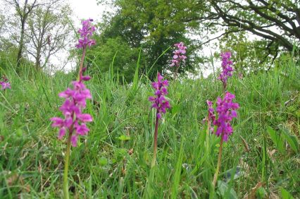 early_purple_orchid