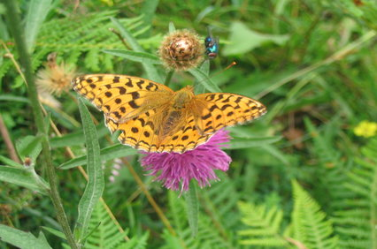 High Brown Fritillary butterfly on a purple flower
