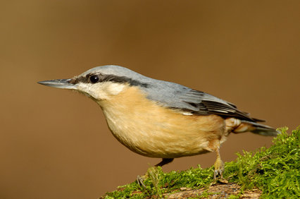 nuthatch_simon_hawtin