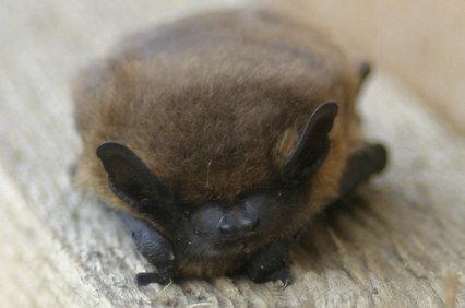 pipistrelle_bat