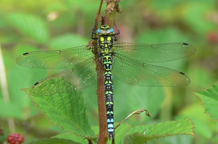 southern_hawker