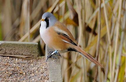 bearded-tit-by-mike-malpass-for-use-with-press-release-sept-16-only