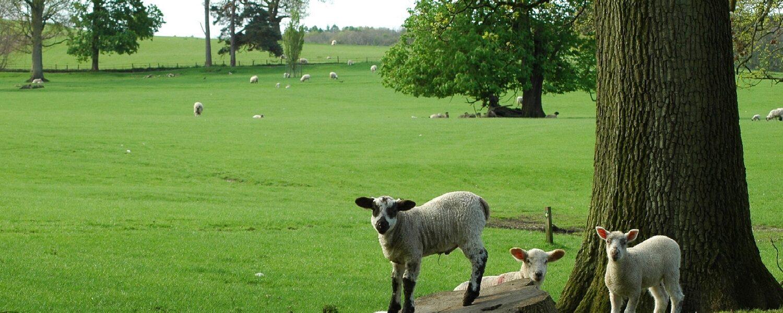 lambs in Dallam Park