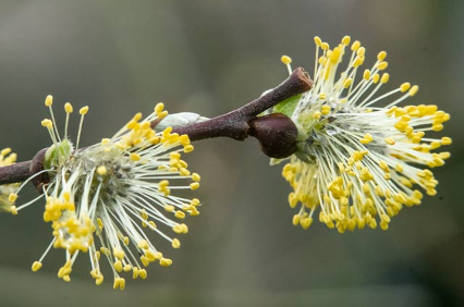 photo of Willow catkins by Steve Benner