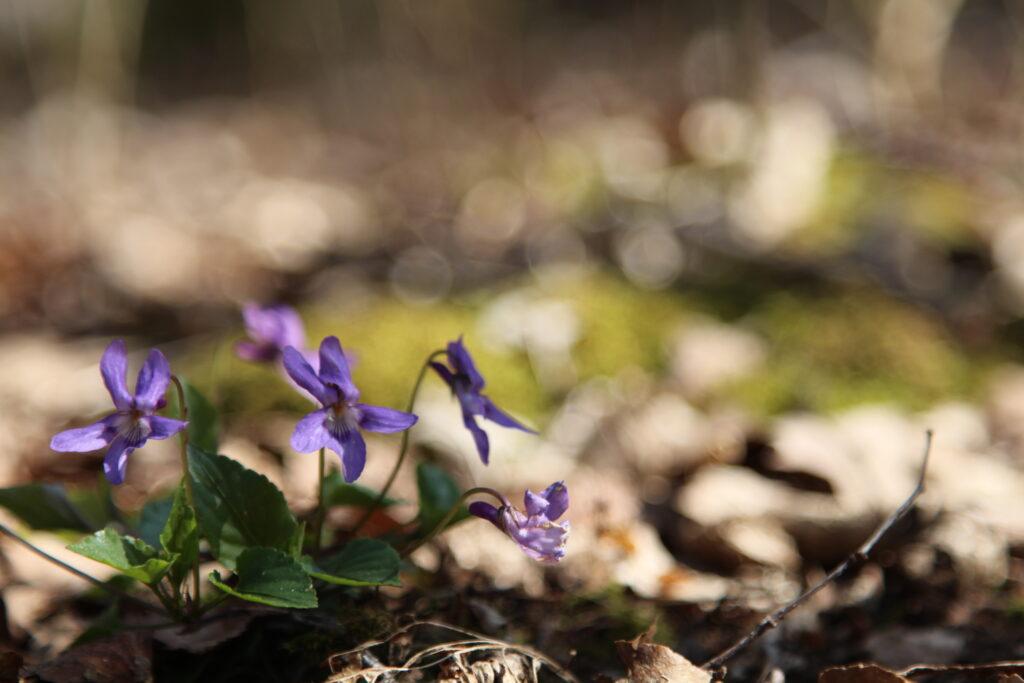 Violets at Dobshall Wood