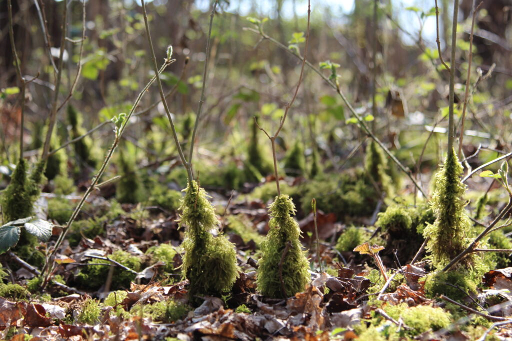 Mossy Shoots at Dobshall Wood