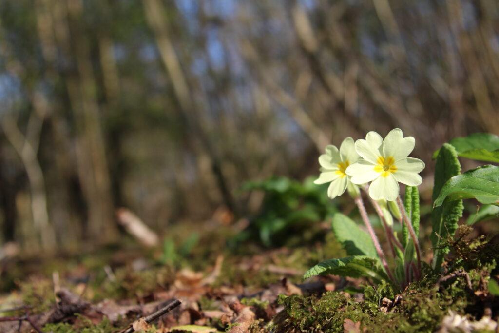 Primrose at Dobshall Wood