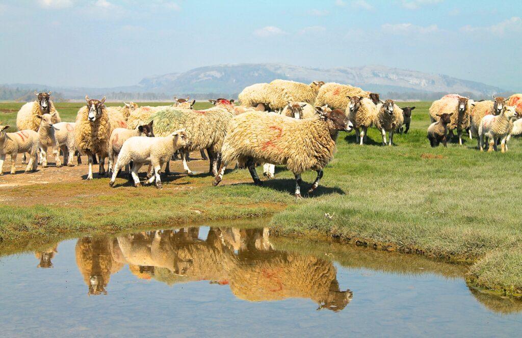 Sheep Arnside Tower Ella Riden